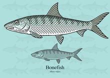 Bonefish. Vector Illustration ...