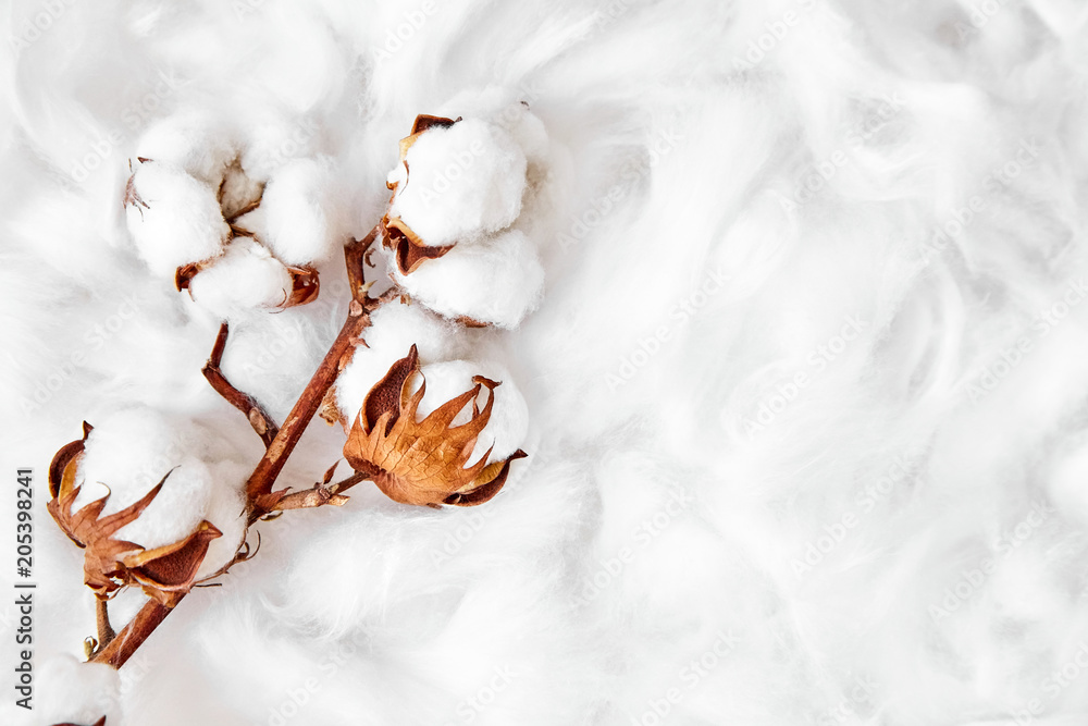 Fototapety, obrazy: branch of white cotton flowers