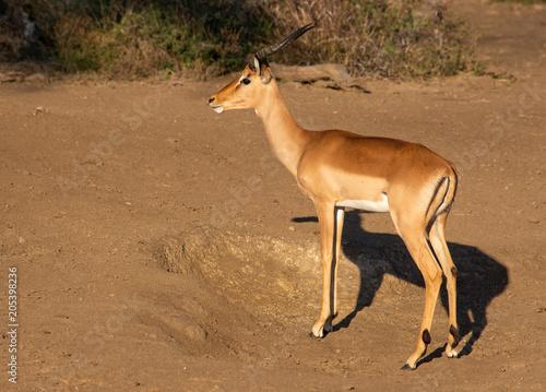 Keuken foto achterwand Antilope Impala ram