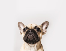 A Portrait Of A French Bulldog Puppy On A White Or Grey Background