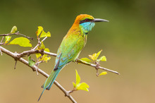 Little Green Bee Eater (merops Orientalis), Yala National Park, Sri Lanka, Asia.