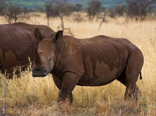 Fotografija  White rhino