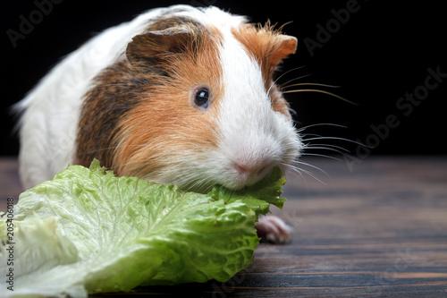 Fotografía  A small guinea pig eating a lettuce leaf