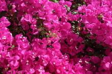 Flowering Bougainvillea In Flo...