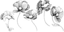 Vector Poppy. Floral Botanical...