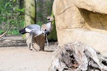 Gray-crowned Crane (Balearica Regulorum Regulorum) Is Walking On The Catwalk.