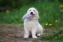 Adorable Golden Retriever Puppy Holding Lilac Flower