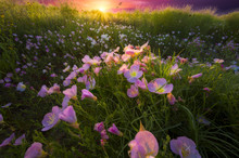 Pink Primrose Sunrise