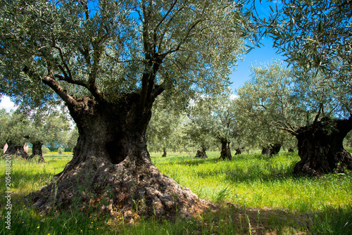 Olivenbaumhain in der Provence