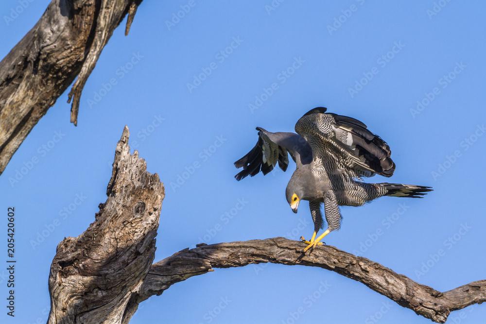 African Harrier-Hawk in Kruger National park, South Africa
