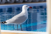 Mallorca, Seagull Bird Standing Next To Blue Swimming Pool Water