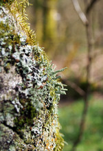 Close Up Of The Trunk Of A Silver Birch Tree With Cracked Bark Covered In Different Kinds Off Colorful Lichens And Mosses With A Blurred Woodland Background