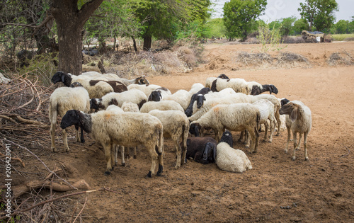 Group of Indian Goat or Sheep in Village - Buy this stock