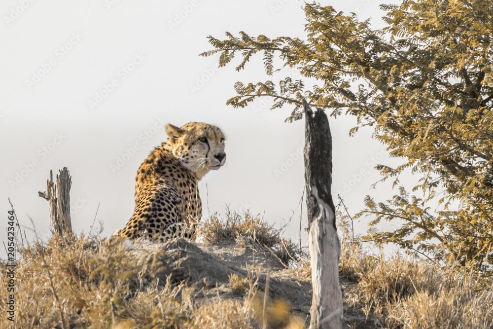 Fotografía Cheetah in Kruger National park, South Africa ...