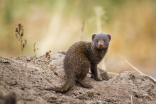 Common Dwarf Mongoose In Kruge...