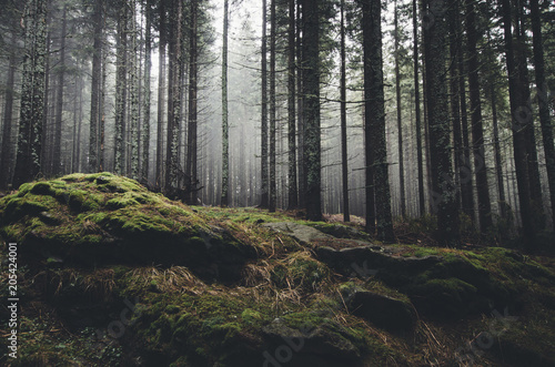 Gris traffic wilderness landscape forest with pine trees and moss on rocks