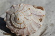 Front view of Lightning Whelk Shell, Sinistrofulgur perversum, found on a beach near Naples Florida