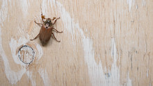 June Bug On The Wooden Background