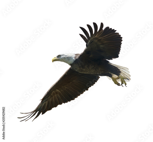 american bald eagle painting Wall mural
