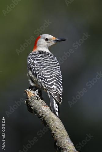 Cuadros en Lienzo Female Red-bellied Woodpecker perched on a tree branch