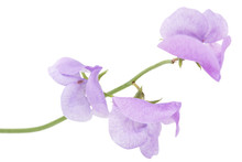 Flowers Of Sweet Pea, Isolated On White Background