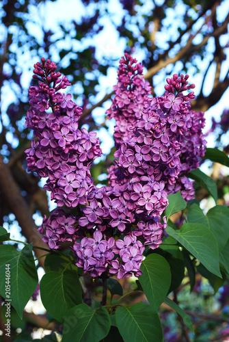 Foto op Canvas Lilac ветка фиолетовой сирени