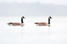 Canada Goose, Branta Canadensis, New Zealand