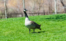 Curious And Alert Canada Goose...