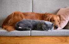 Golden Retriever Sleeps With The Cat