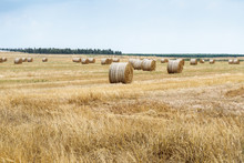 Freshly Cut  Hay Crammed Into Rolls Lies And Dries On The Field