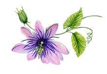 Beautiful Purple Passiflora (p...