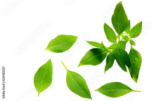 Fototapeta Basil leaf on white background obraz na płótnie