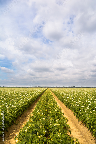 Foto op Canvas Platteland Potatoe field