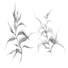 Wild Herb Branch Pencil Drawing