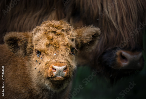 Canvas Prints Highland Cow Mutter und Kalb Highland Rind / Highland Cattle / Bos taurus