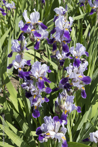 Foto op Canvas Iris Iris germanica white and violet flowers