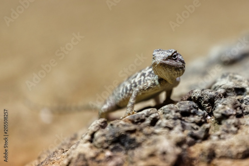 Portrait  brown lizard sitting on a brown stone Poster