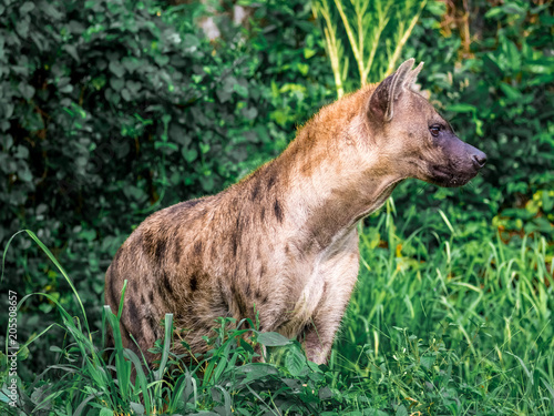 Poster Hyène Spotted hyena (Crocuta crocuta), also known as the laughing hyena close up side view animal wildlife.