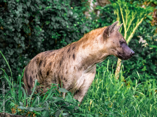 In de dag Hyena Spotted hyena (Crocuta crocuta), also known as the laughing hyena close up side view animal wildlife.