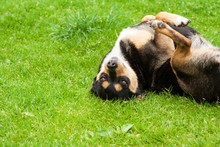Dog Lying Upside Down On Green Grass And Looks At The Camera Lens