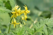 Yellow Flowers From A Tomato P...