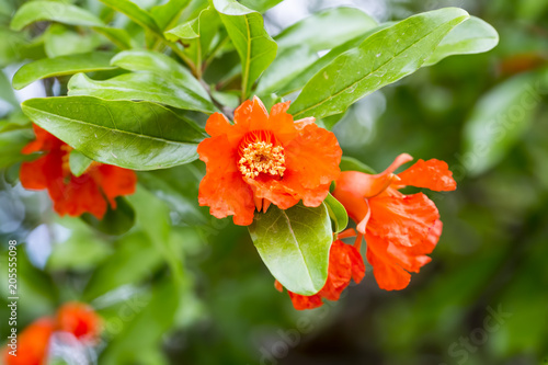 Pomegranate tree flower