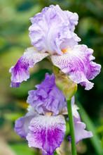 Violet Iris Flowers In The Garden