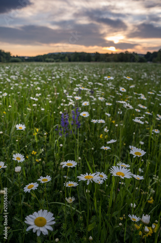 Papiers peints Marguerites Marguerites on a meadow in spring at sunrise. At Bayreuth, Germany, Wilhelminenaue.