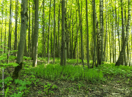 Garden Poster Forest Forest scenery on a sunny spring summer day with grass alive trees and green leaves at branches at a park botanical outdoor image
