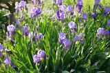 iris flower, purple iris flower