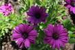 Beautiful violet flowers bloomed in the flowerbed