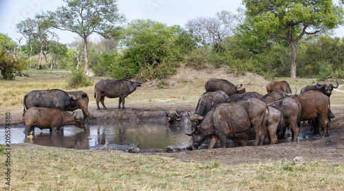 Staande foto Buffel Buffalo herd drinking from a waterhole in Sabi Sands Private Game Reserve, part of greater Kruger Region in South Africa