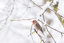One Male Red House Finch Close...