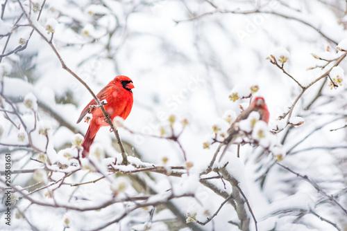 Photo  Closeup of one vibrant saturated red northern cardinal, Cardinalis, bird sitting